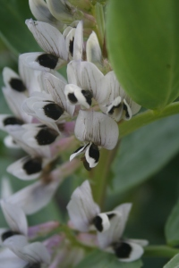 Broad Bean Flower
